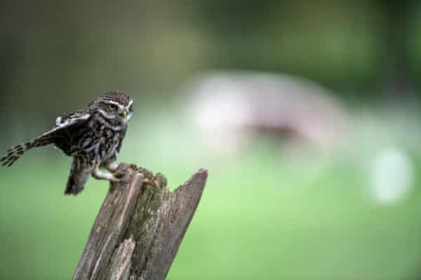 A Little Owl, spotted near the cows (in the background).