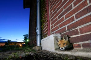 A red fox peeks out of its burrow, a hole in the wall in an old abandoned warehouse in Spandau, Berlin