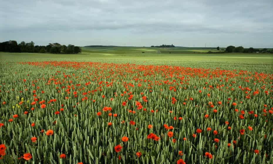 Blood-red … poppies in the Somme Battlefield, France.