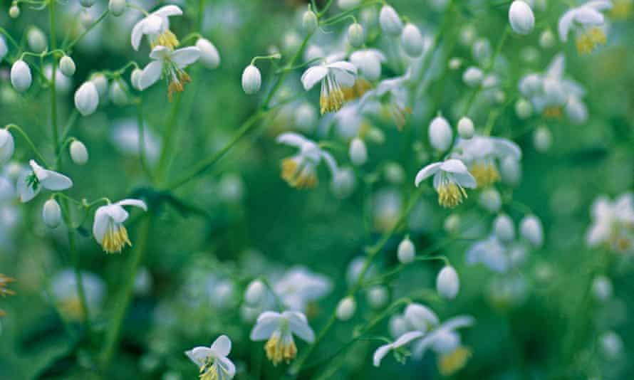 Thalictrum delavayi album - Meadow Rue
