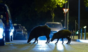 Adult and young Wild boars searching for food on a street in Barcelona.
