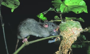 A ship rat attacks a fantail nest in New Zealand. The country is committed to becoming predator free by 2050.