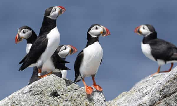Atlantic puffins on Eastern Egg Rock, a small island off the coast of Maine.