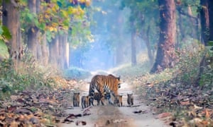 An adult tiger walking her cubs in Dudhwa National Park, Uttar Pradesh, Northern India.