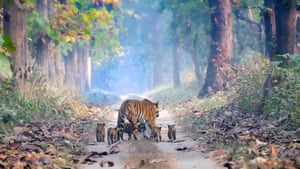 An adult tiger walks her five cubs down a path in Dudhwa national park in India