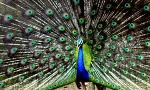 A peacock at Alipur zoo in Calcutta, India
