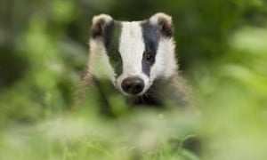 'Badger predation is is one of the main causes of hedgehog mortality', according to a study.