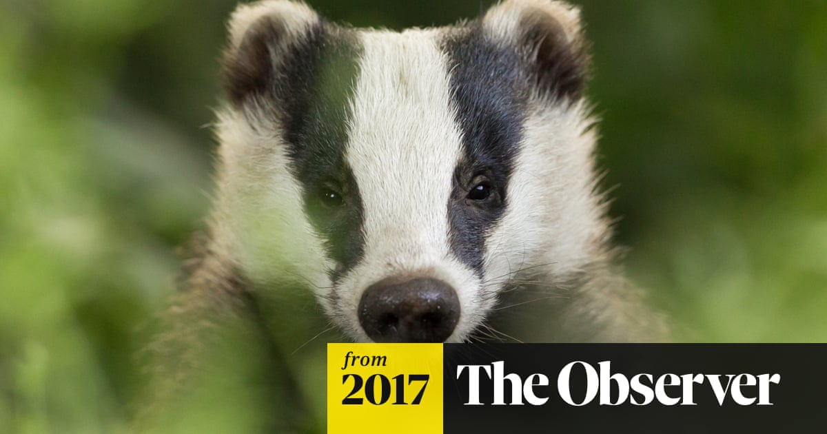 Badger cull could see boom in foxes, stoats and weasels