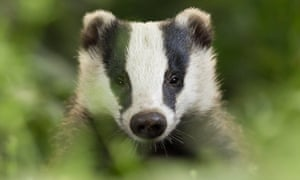A badger in a field