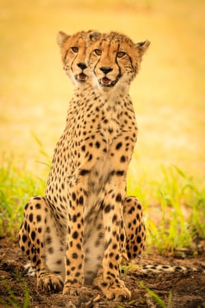 Two cheetahs photographed in an apparent optical illusion