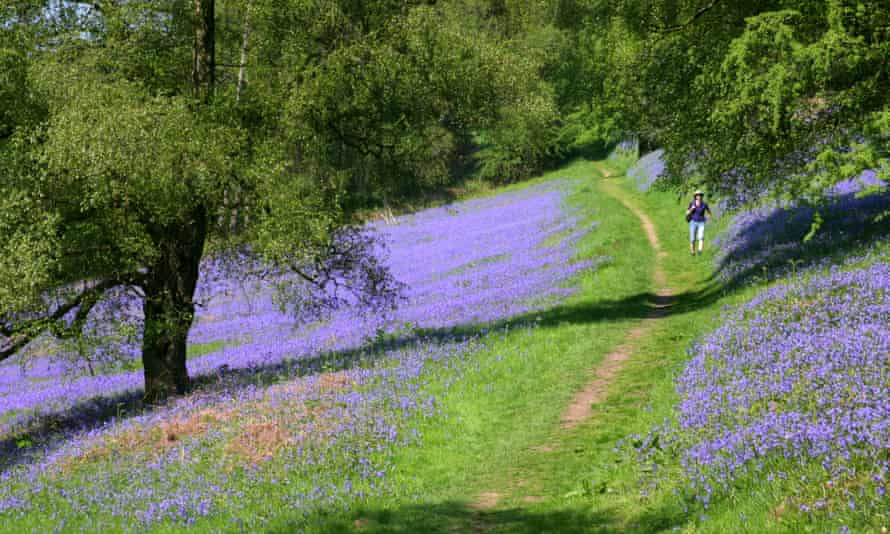 Bluebells on the west side of the Malvern hills, designated a site of biological and geological scientific special interest.