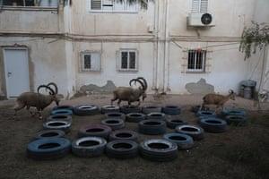 Nubian ibex in Mitzpe Ramon examine used tyres