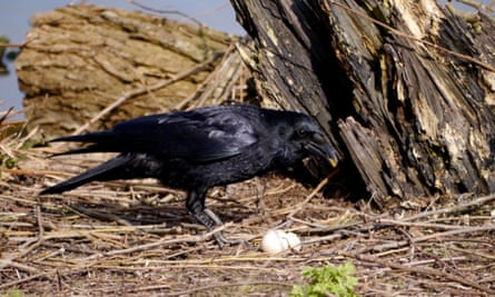 Crow with an egg