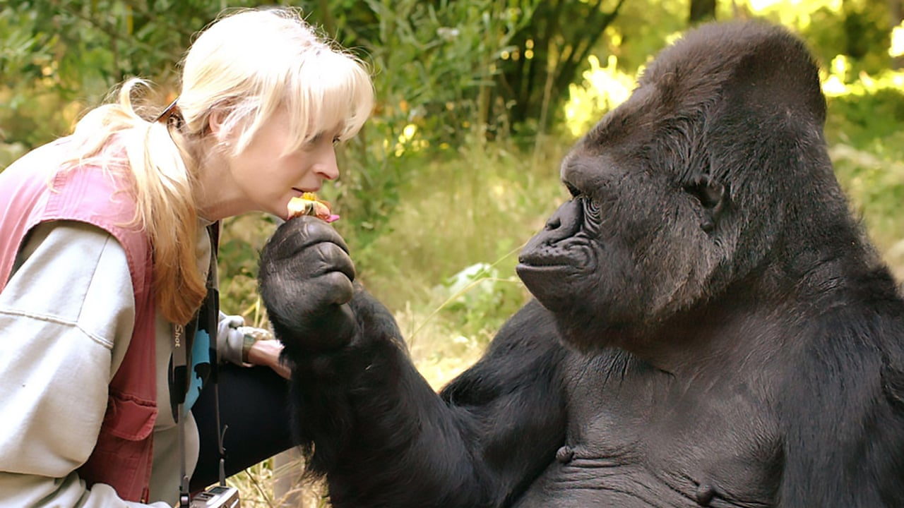 Kitten Loving Koko The Gorilla Dies In California Video