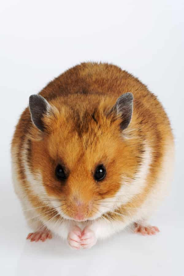 The Syrian hamster has become the most widely used animal in Covid-19 research.