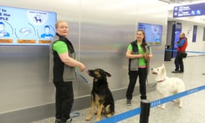 Sniffer dogs are trained to detect the coronavirus at Helsinki Airport