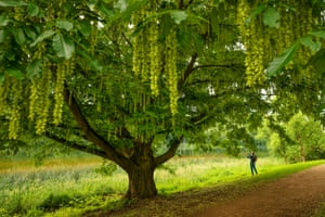 A rare Caucasian wingnut tree at Blenheim Palace is producing its finest summer floral displays in living memory. The tree's catkins can reach half a metre in length. The fast-growing deciduous tree is native to the Caucasus region and was introduced to Britain in the 1780s. It is characterized by its hanging, compound leaves and long catkins which grow up to 50cm long. When fully grown the tree can reach heights and widths in excess of 20m. The wingnut tree has been around for a very long time. Fossil records of the tree dating back more than 2.5 million years have been found in Turkey