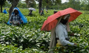 Labourers pluck tea leafs after the government eased a nationwide lockdown imposed as a preventive measure against the spread of coronavirus at Kiranchandra Tea Garden, 26 April 2020.