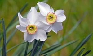 Narcissus poeticus.