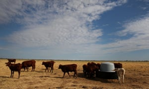 Cattle in drought-hit Longreach, central Queensland.