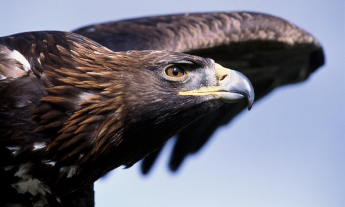 England's last golden eagle feared dead