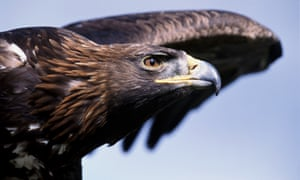 A Golden eagle in flight. The missing golden eagle had been resident at Haweswater in the Lake District for 15 years.