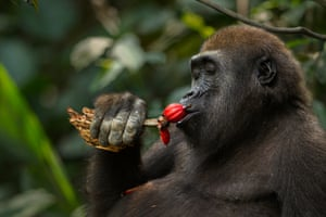 A male western lowland gorilla feeds on fruit while holding a piece of rotting wood which he will eat later, Bai Hokou, Dzanga Sangha forest reserve, Central African Republic