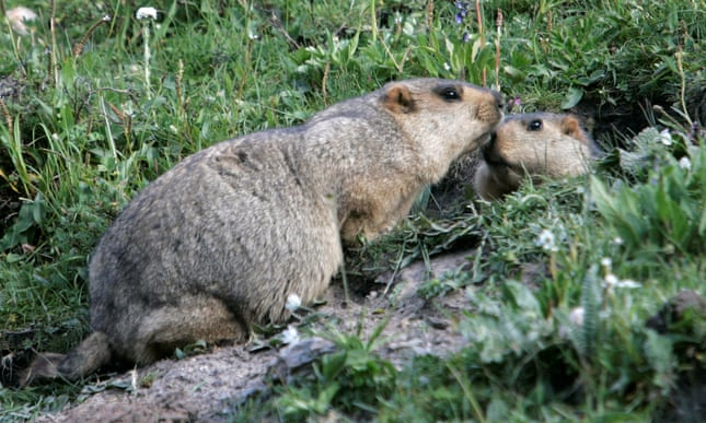 Russia cracks down on marmot hunting after suspected bubonic plague cases