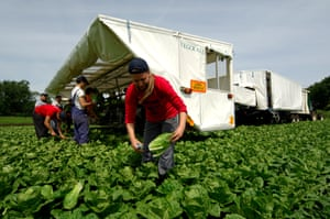 Migrant workers picking lettuces  norfolk