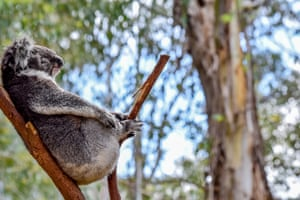 This picture of a Koala sitting on a branch was taken around Canberra in Australia. Koalas are considered as vulnerable by the IUCN red list of species and are subject to conservation programmes in Australia.