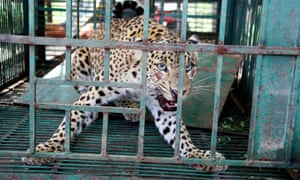 A caged leopard at Sukna Wildlife Rescue Centre on the outskirts of Siliguri, India