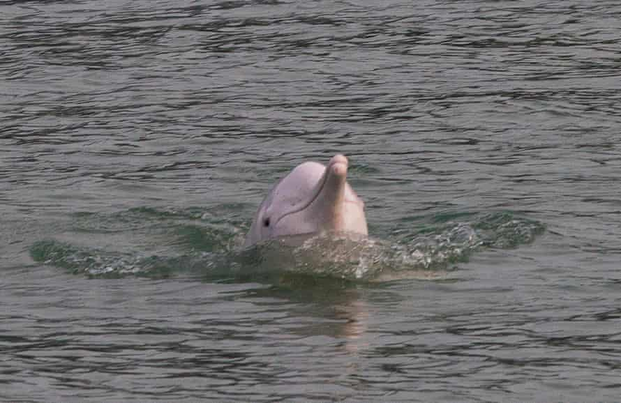 Indo-Pacific humpback dolphins are spending more time socialising in the waters between Hong Kong and Macau.