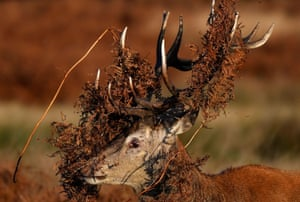 A deer covered in bracken undergrowth prepares to clash with a rival during the rutting season in Richmond Park, west London