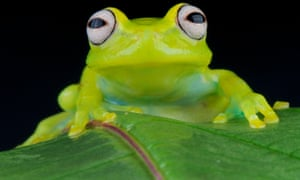 A glass frog