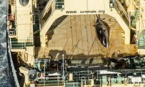 A whale onboard the Nisshin Maru