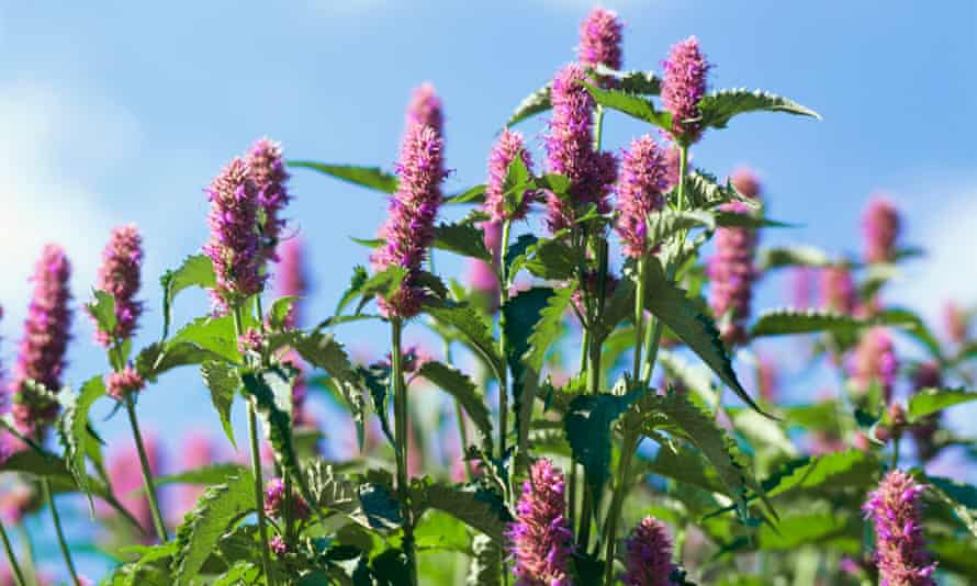 Flowering anise hyssop