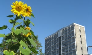 Sunflowers grow against a blue sky with a city tower block in the background