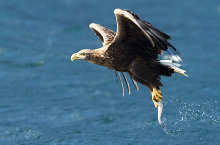 White-tailed sea eagle fishing and catching a fish, Isle of Skye, Scotland - 2012<br>