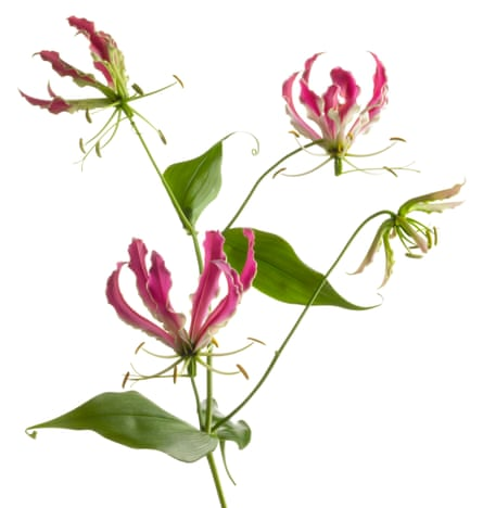 Gloriously eccentric: gloriosa lily with its unusual spidery flowers.