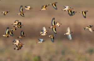 Goldfinches fly over a field of sunflowers and bushes in northern Saxony.