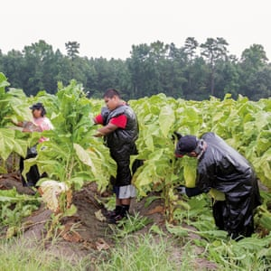 Goldsboro, North Carolina, US. Miguel, a 14-year-old Mexican migrant worker, picking leaves in a tobacco field with his aunt and uncle