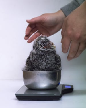 Runner-up, Behind the Scenes: Owl have to be weighing you, by Niall Owen at Welsh Mountain Zoo. Species: Great grey owl