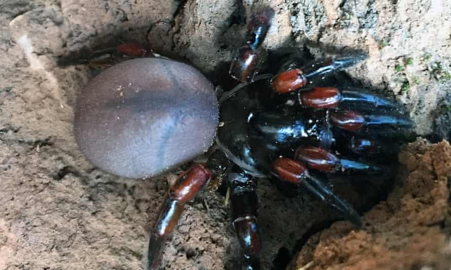 Saddleback trapdoor spider