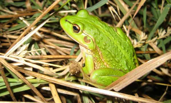 Growling grass frogs were once abundant across Melbourne but urban expansion has seen its numbers plummet.