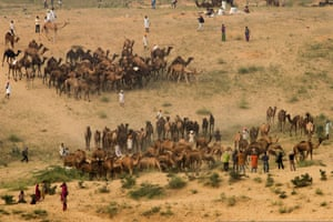 By Chaitanya Deshpande. Herders gather their camels at the end of the day on the fair grounds of Pushkar in Rajasthan, India. Each year the fair attracts thousands of camels from nearby villages and is the main event of an otherwise sleepy town
