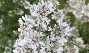Herbal remedy: coriander's ethereal flowers – let it  run to seed for cooking.
