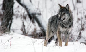 Gray wolf (Canis lupus), Carpathian mountains.
