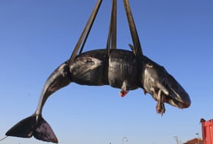 A dead whale recovered off the Italian island of Sardinia is lifted on to a truck