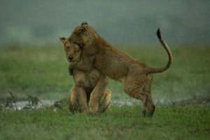 A lion cub plays with its mother in the rain in Masai Mara, Kenya.