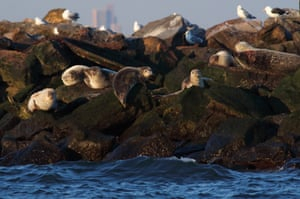 Seals lounge on rocks in the Lower Bay harbour between Staten Island and Brooklyn, New York City, as the sun sets